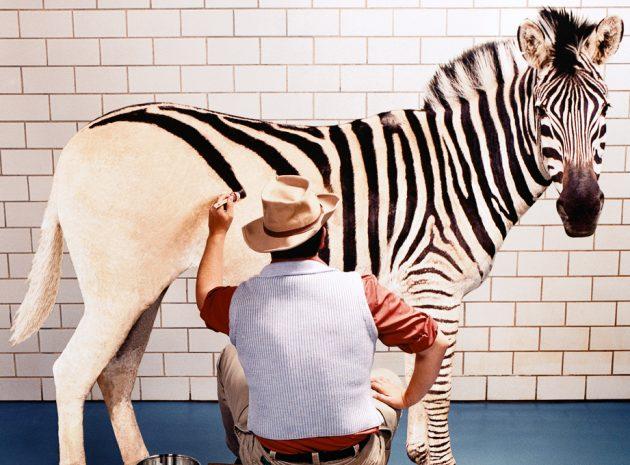 målar ränder på zebra